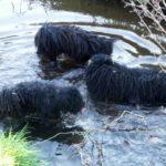 Puli Treffen Wedemark 2005 Wasser