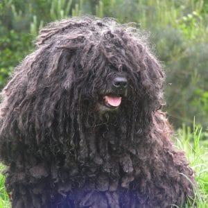 Der ungarische Hirtenhund, der Hund Puli