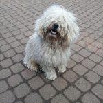 Stud dog Blubsch makes seat