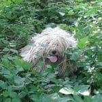 Deckrüde Leo im Busch