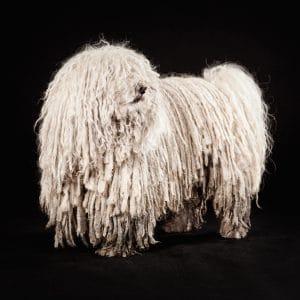 Puli male dog Blubsch