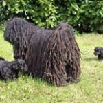 Puli breeder von Dischers Hoff ody_m_puppies