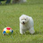 Puli Züchter Krambambulis Welpe mit Ball