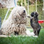 Puli Züchter von den zotteligen Gefährten Betty mit Welpe
