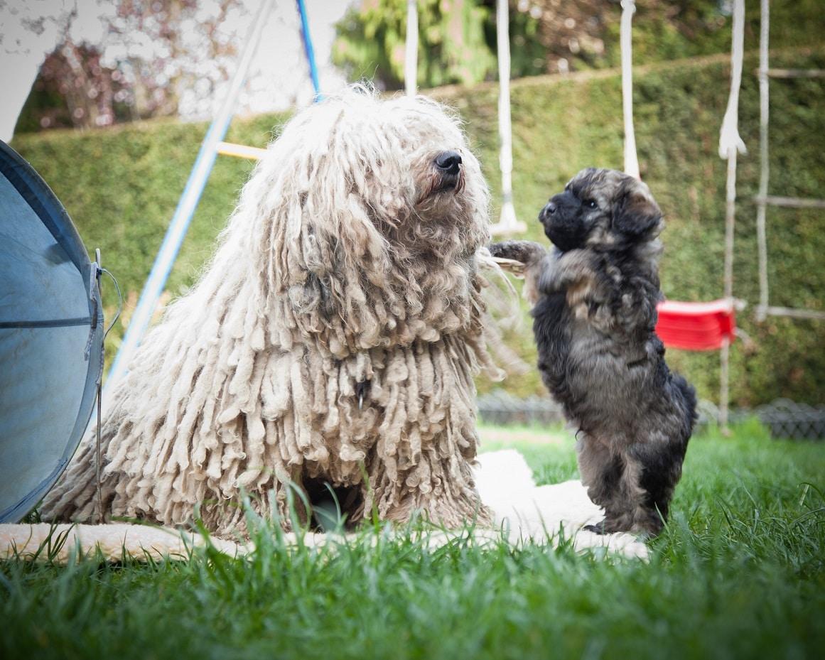 Puli fokker de zotteligen Gefährten gezellen Betty met puppy