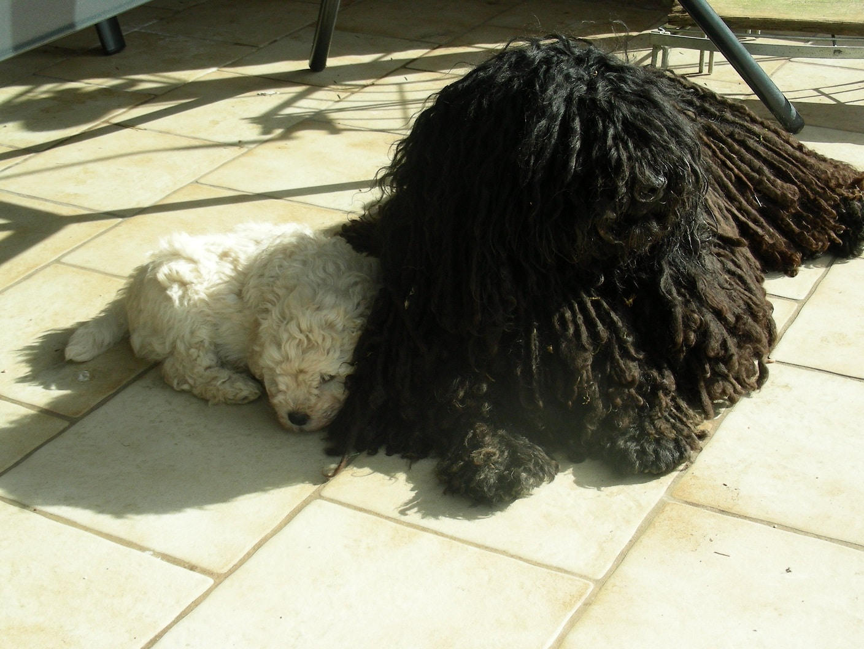 fokker de zotteligen Gefährten Moha knuffelt met pups