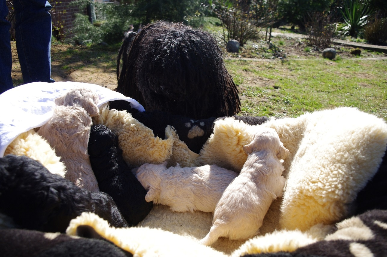 fokker de zotteligen Gefährten gezellen Moha met pups