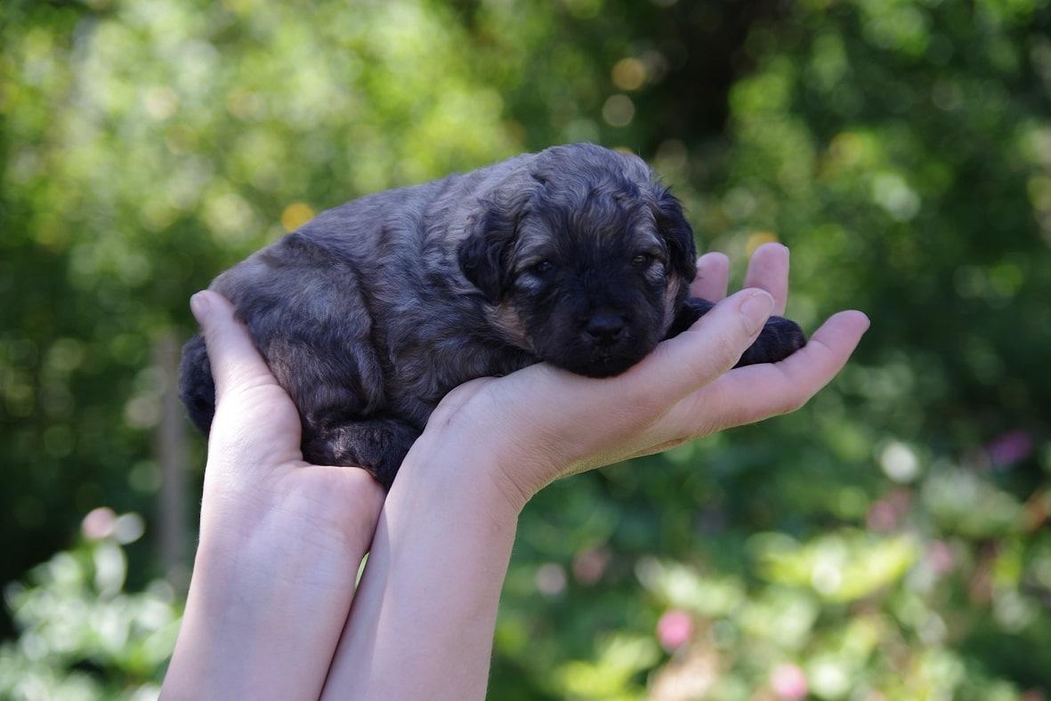 fokker de zotteligen Gefährten zwartpuppy in de hand