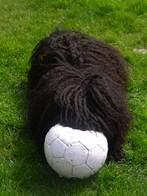 Zwinger von den zotteligen Gefährten_Moha mit Ball