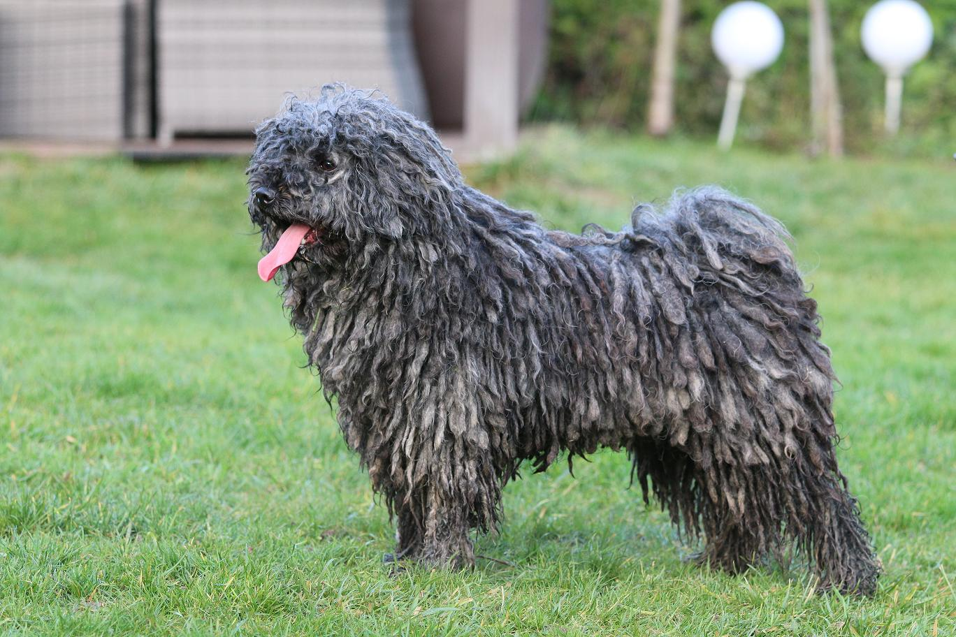 Stud dog Bobby Brown Portrait