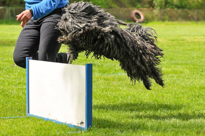 Stud dog Bobby Brown jumping