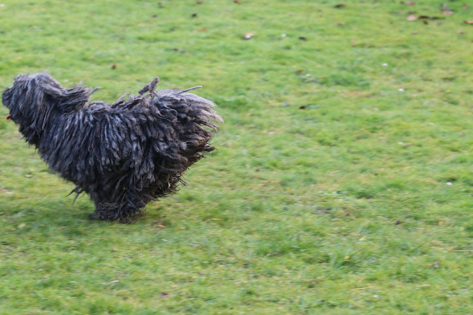 Stud dog Bobby Brown runs