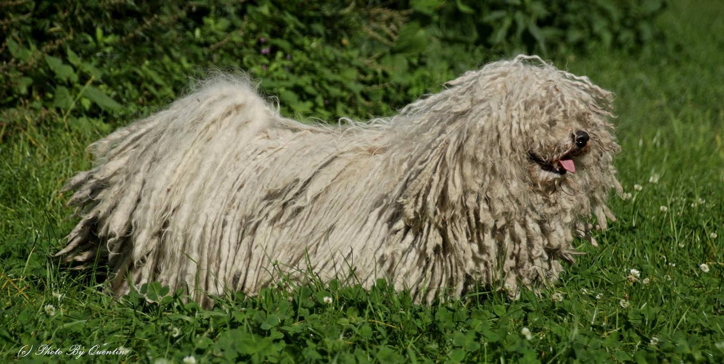 Deckrüde Coco Jambo im Gras