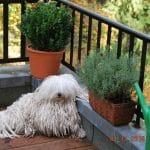 Stud dog Derek on the terrace