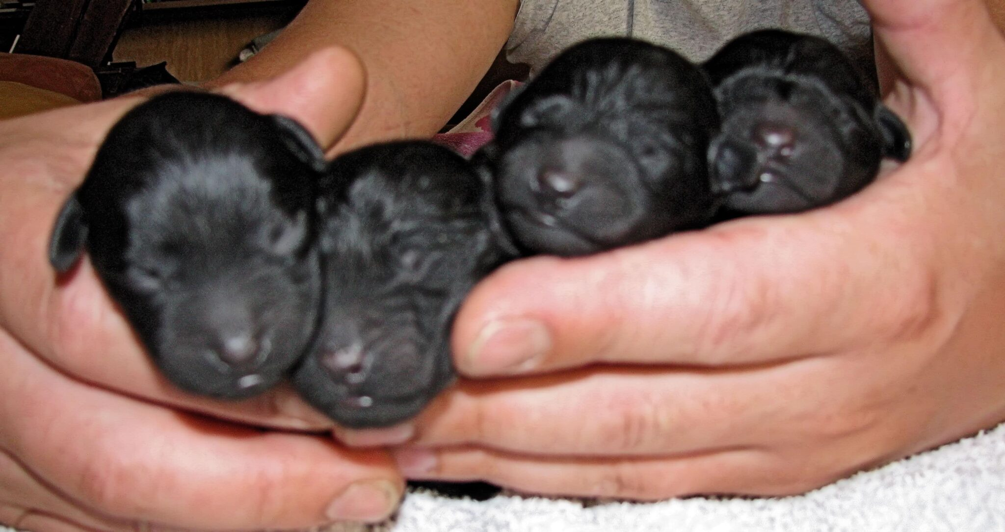 Puli breeder of Pulindo's puppies 4 puppies in hand