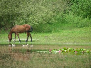 Puli Wanderung in Echt in Holland Pferde