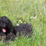 Puli Schulung in Würrich Gras