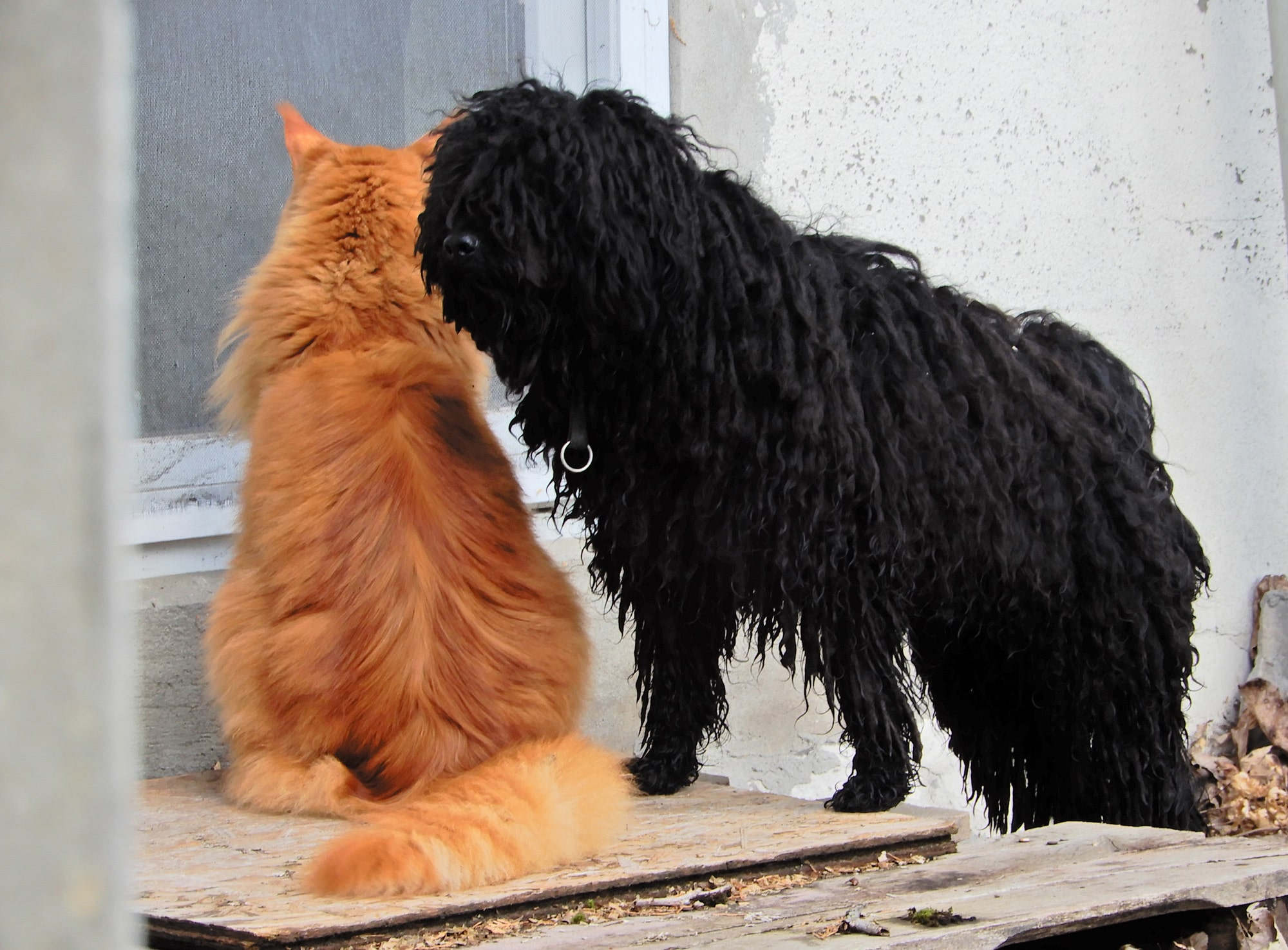 Puli and cat guard together