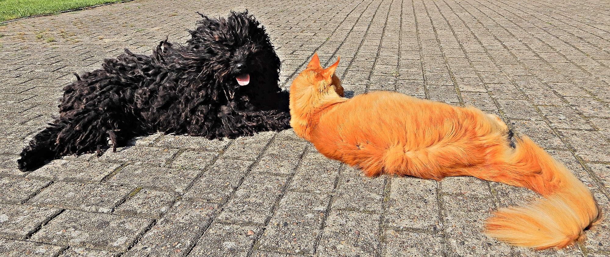 Einträchtige Puli Edgar und Kollege Katze