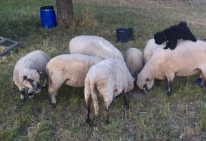 Hungarian shepherd dog Puli herding sheep