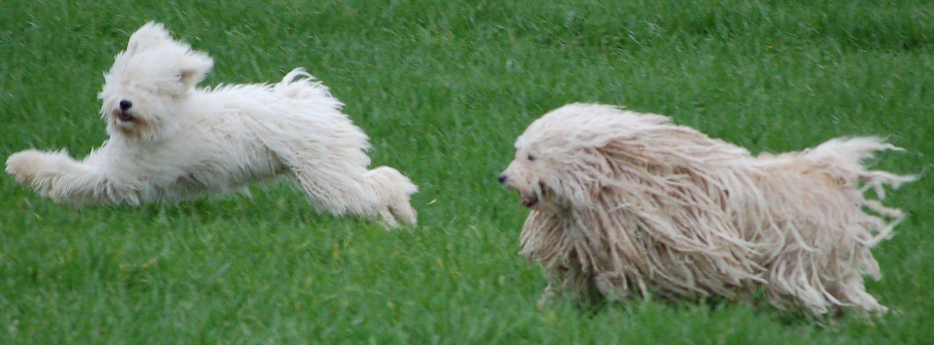 How healthy is the Puli breed?