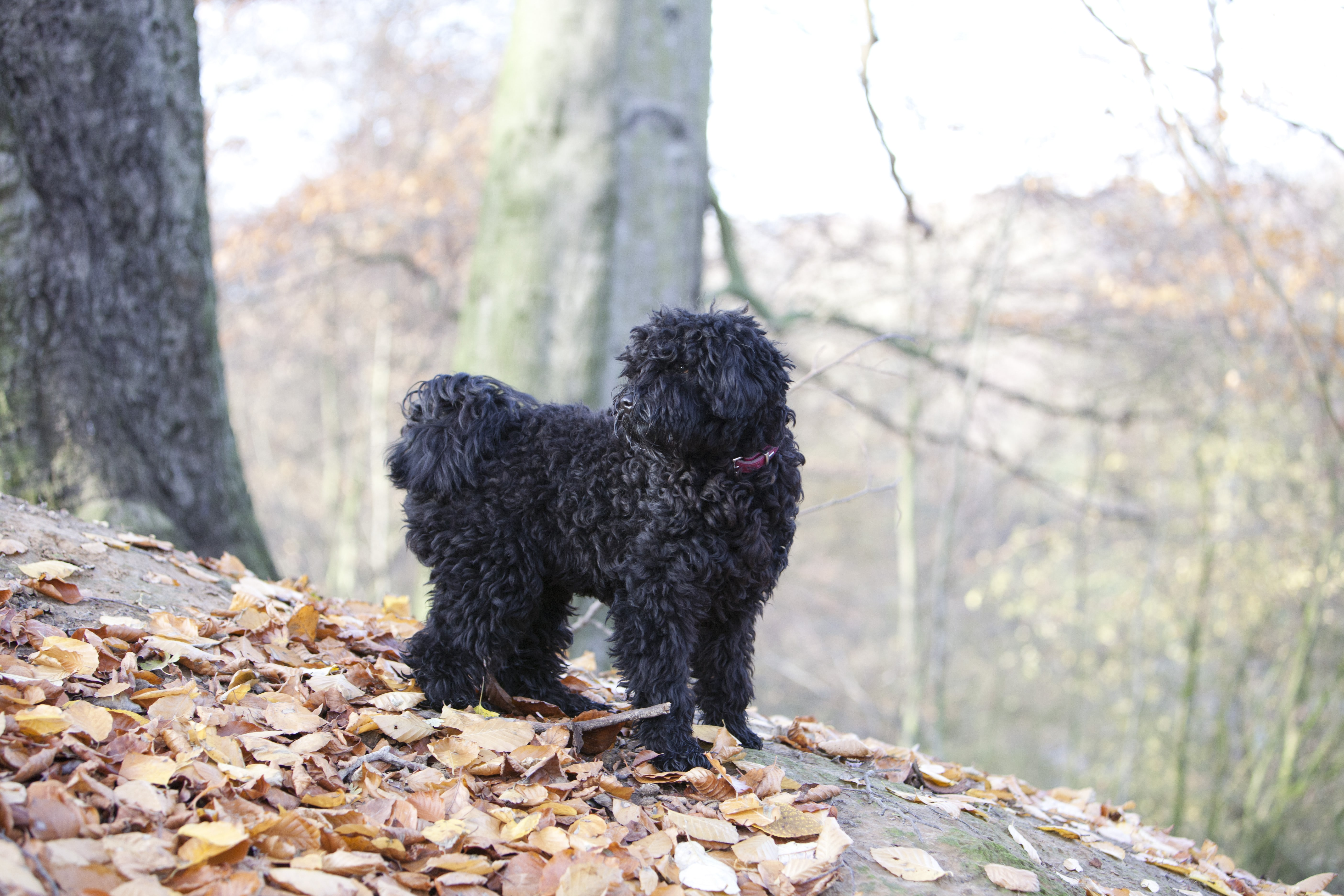 Does a Puli have a hunting instinct? Do I have to be careful when I go for a walk?