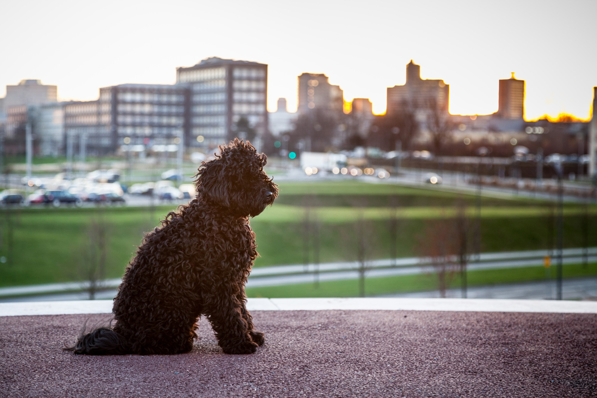 How does a Puli behave in the city?