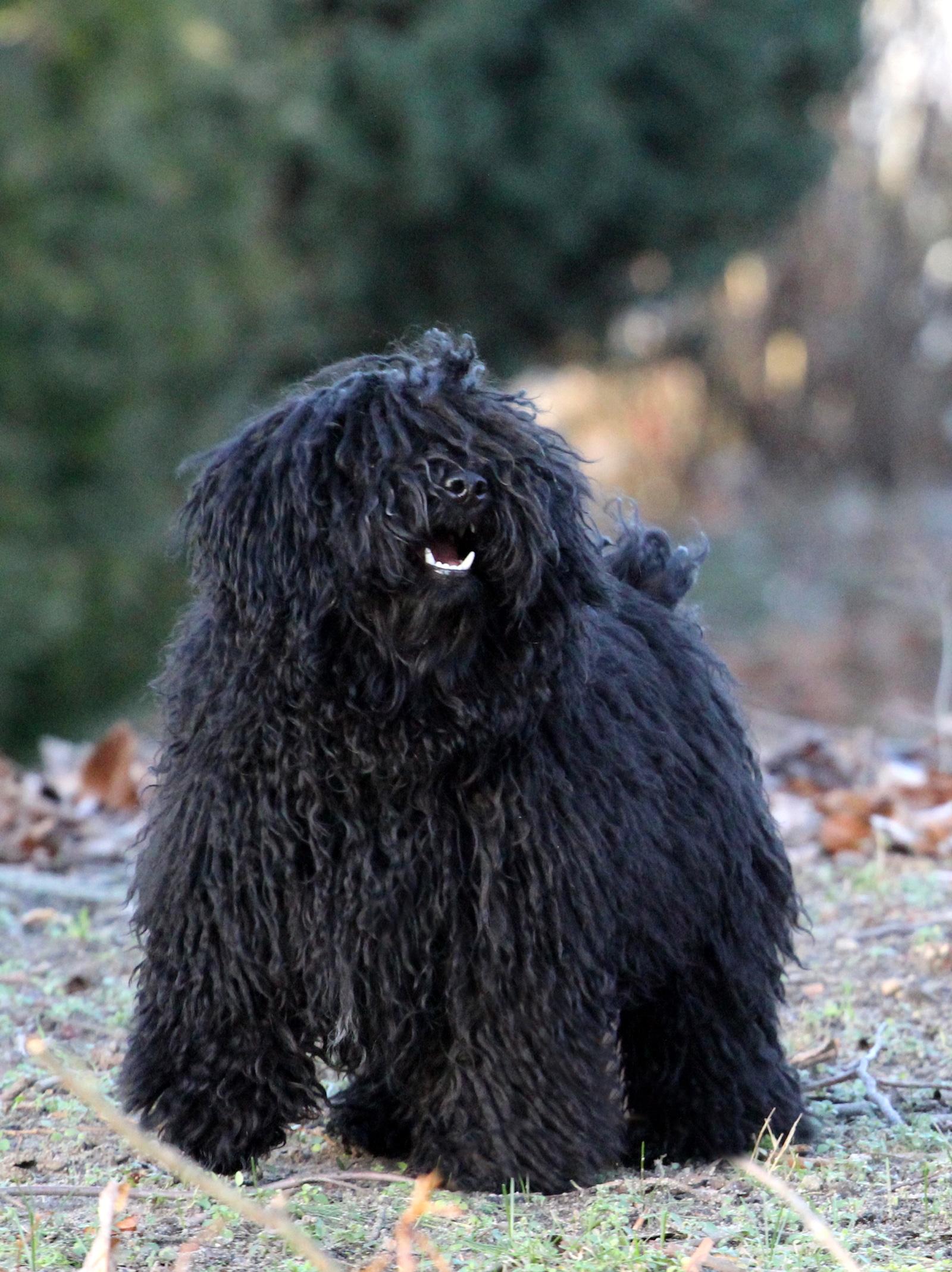 Does Puli bark a lot?