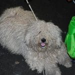 Europa dog show Holland 2011 Puli wartet