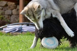 Puli friendships fight for Frisbee