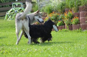 Puli friendships Who gets the Frisbee