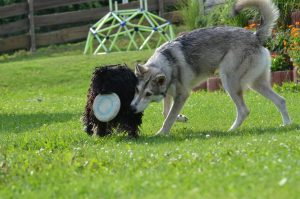 Puli friendships with Frisbee