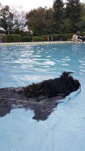 Puli schwimmt im Schwimmbad