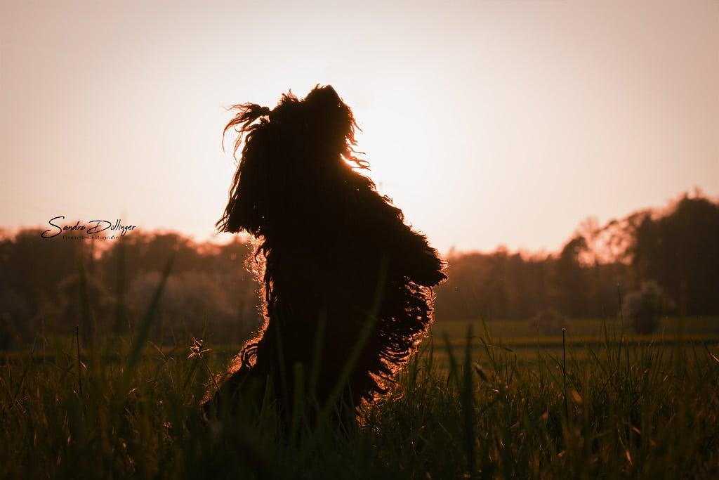 Puli Züchter von der plietschen Deern Mieze im Sonnenuntergang