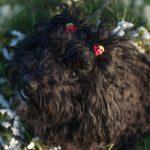 Puli Züchter von der plietschen Deern Mieze mit roten Zöpfen