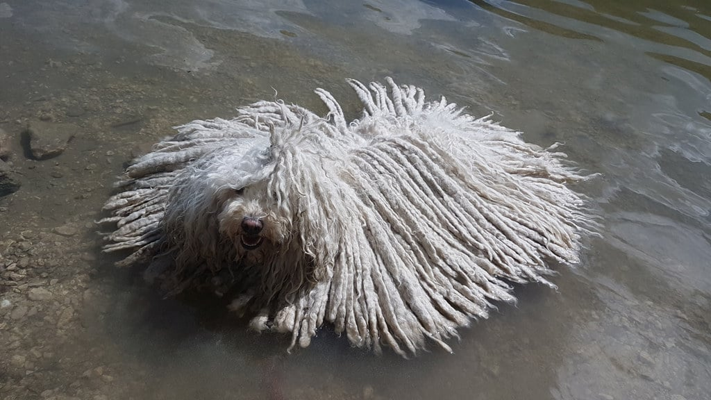 Puli Züchter Zottelbärchis Maya schwimmt
