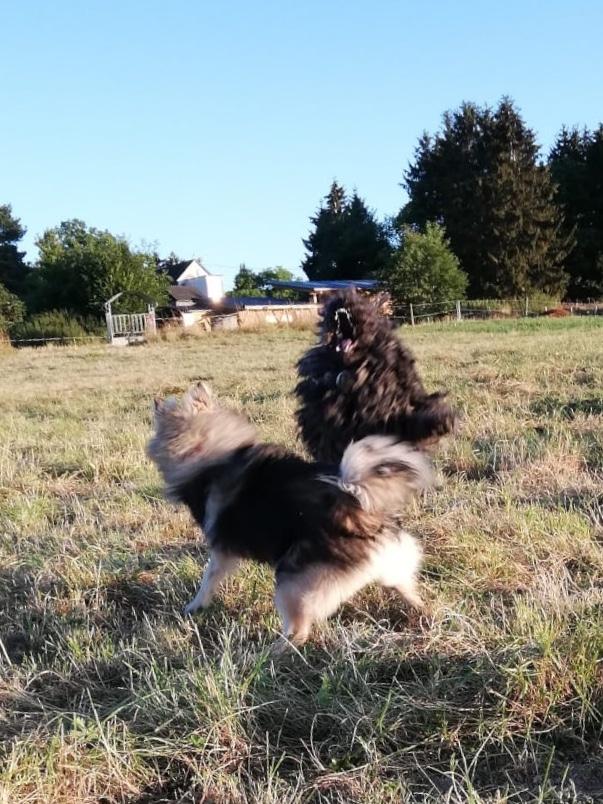 Puli Züchter von den wuseligen Pfoten Abby hat Spass