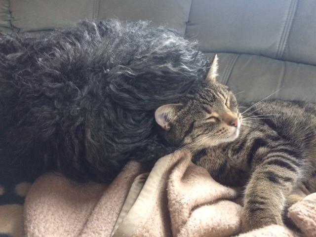 Puli Züchter von den wuseligen Pfoten Abby liebt unsere Katze
