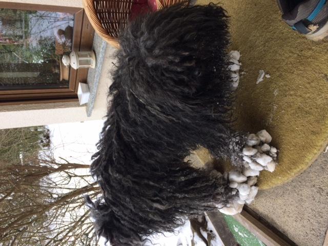 "Puli breeder of the ""wuseligen Pfoten"" Abby with snow socks"