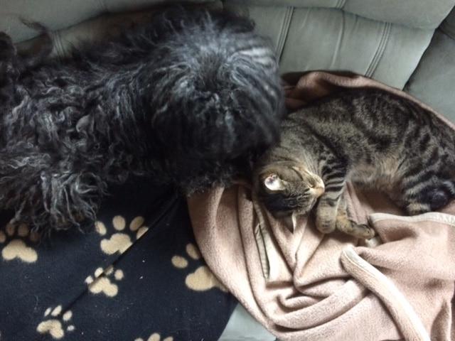 Puli Züchter von den wuseligen Pfoten Abby schmust mit der Katze