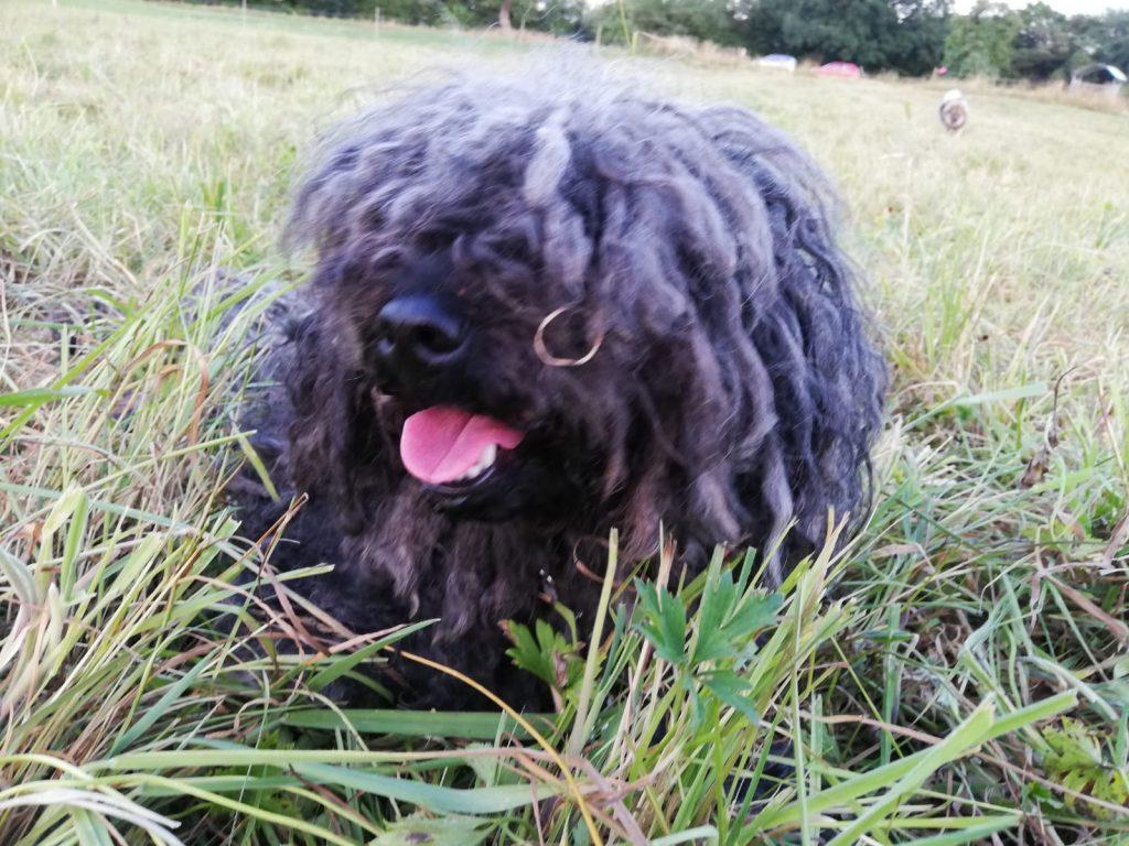 "Puli breeder of the ""wuseligen Pfoten"" Abby wants summer"