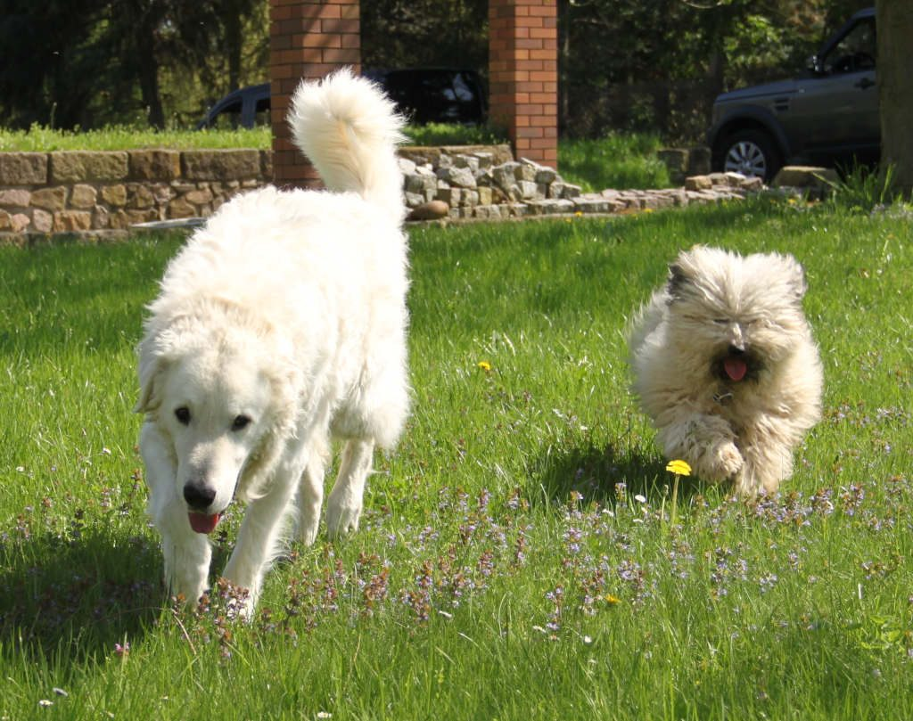 Stud dog Fabo Felix with Kuvasz friend