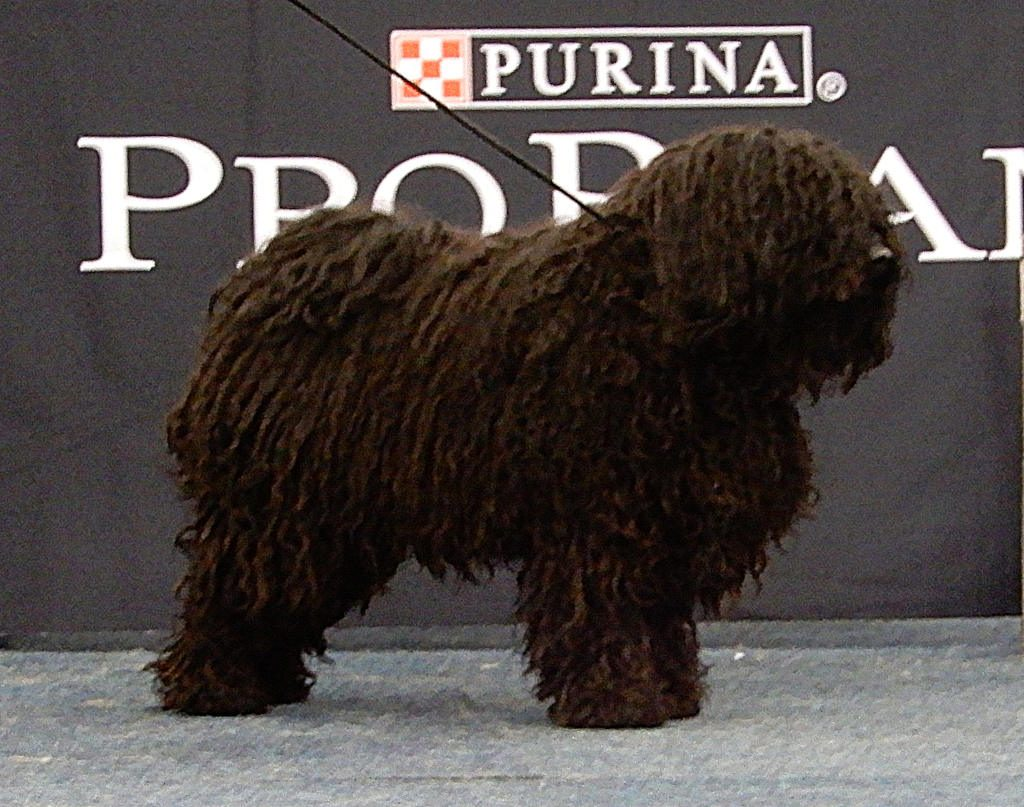 Stud dog Nyakas at a show