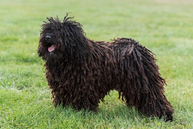Stud dog Pollux Portrait