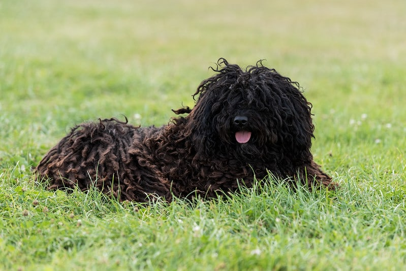 Stud dog Pollux lying
