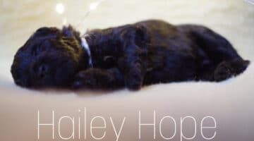 Puli breeder shaggy companions Haily-Hope