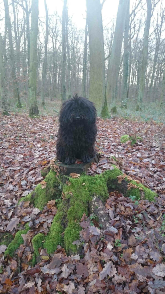 stud dog Remus in the Forest